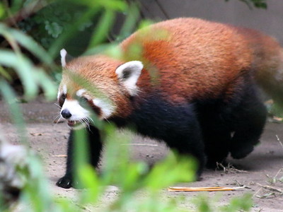 Red Panda on the Prowl