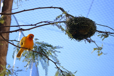 Taveta Golden Weaver and nest
