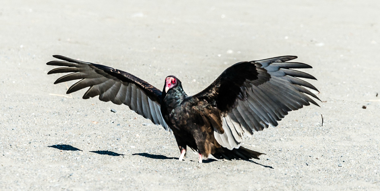 "Turkey Vultures - ""Hey gang, I'm over here"""