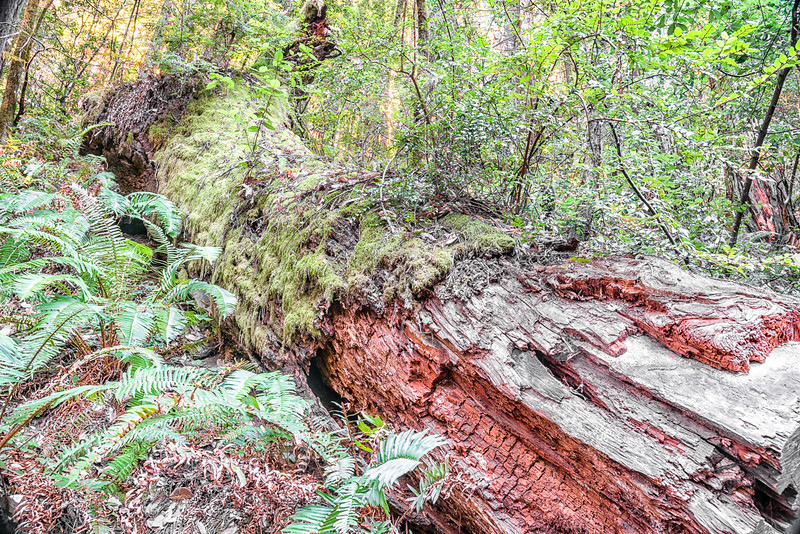 Dead Redwood