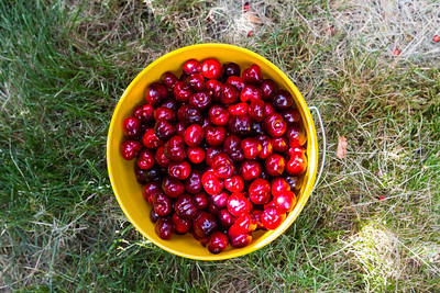 Cherries. Nunn Better Farm. Fruit Picking Trip - Brentwood, CA, USA