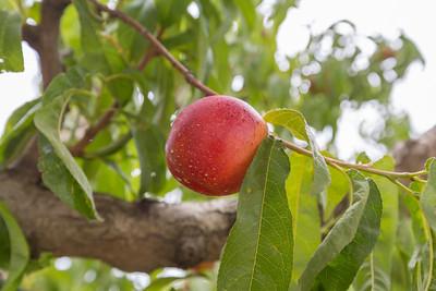 Peach. Fruit Picking Trip - Brentwood, CA, USA