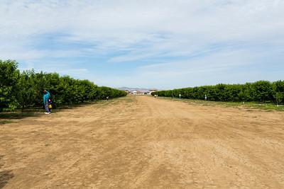 Cherries. Nunn Better Farm. Fruit Picking Trip - Brentwood, CA, USA