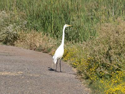 Snowy Egret (Egretta thula). Coyote Hills Regional Park - Fremont, CA