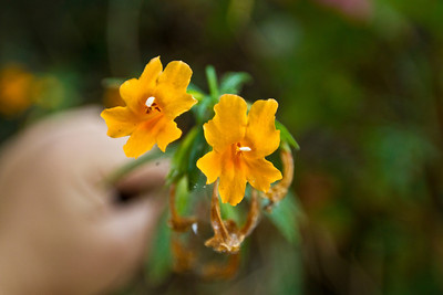 Sticky Monkey Flower (Mimulus aurantiacus). Lake Chabot Regional Park - Castro Valley, CA, USA