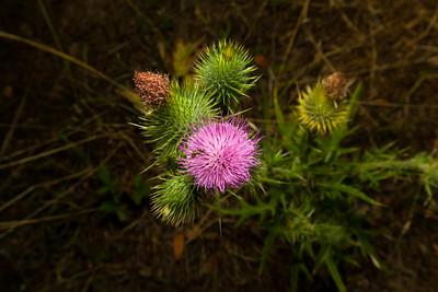 Bee & Milk Thistle (Silybum marianum). West Shore Trail. Lake Chabot Regional Park - Castro Valley, CA, USA
