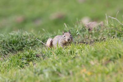 Squirrel. Fremont Mission Peak - Fremont, CA, USA