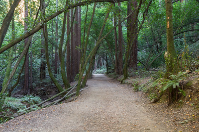 Forest. Some of the trees are Coast Redwood (Sequoia sempervirens). Stream Trail. Redwood Regional Park - Oakland, CA, USA