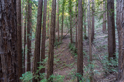 Coast Redwood (Sequoia sempervirens). Redwood Regional Park - Oakland, CA, USA