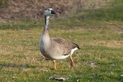 Goose. Shadow Cliff Regional Park - Pleasanton, CA, USA