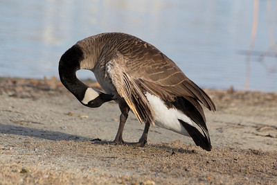 Canada Goose (Branta canadensis). Shadow Cliffs Regional Park - Pleasanton, CA, USA