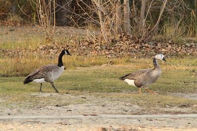 Canada Geese (Branta canadensis). Shadow Cliffs Regional Park - Pleasanton, CA, USA