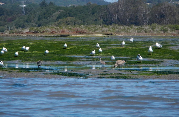 bird; california; elkhorn slough; monterey; Wildlife This guys can be pesky if you stop for a picnic. Protect your food.