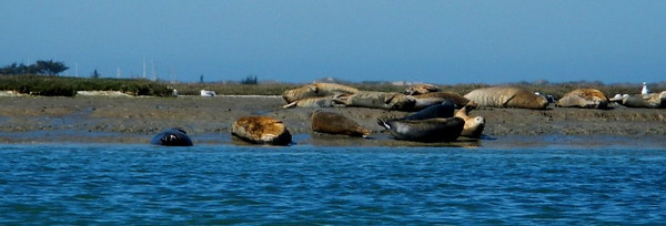 california; elkhorn slough; monterey; sealifewaterlife; Wildlife So many Sea Lions line the shores in places that their calls can be distracting.