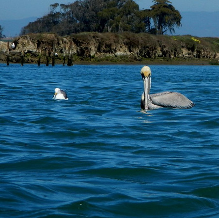bird; california; elkhorn slough; monterey; Wildlife Pelicans are common in the area and are easy to spot.