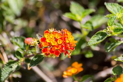 Lantana Flower. Fremont Central Park - Fremont, CA, USA
