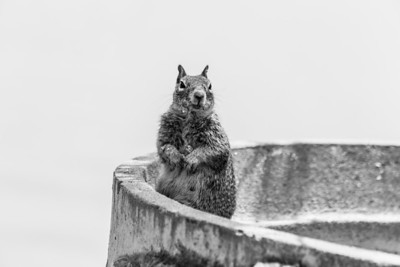 Squirrel. Lake Elizabeth/Fremont Central Park - Fremont, CA, USA