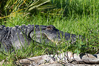 Alligator. Oakland Zoo - Oakland, CA, USA
