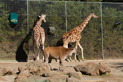 Reticulated Giraffes (Giraffa camelopardalis reticulate) and Common Eland (Taurotragus oryx).  Oakland Zoo - Oakland, CA, USA