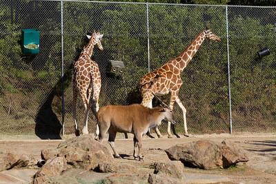 Reticulated Giraffes (Giraffa camelopardalis reticulate) and Common Eland (Taurotragus oryx).  Oakland Zoo - Oakland, CA, USA