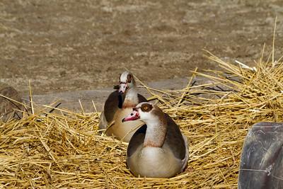Egyptian Geese (Alopaoche aegyptiaca). Oakland Zoo - Oakland, CA, USA