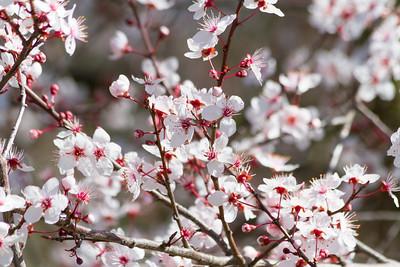 Peach Blossoms. Arroyo Del Valley Trail - Pleasanton, CA, USA