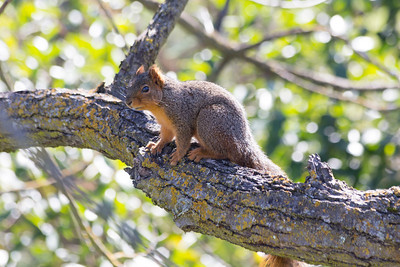 Squirrel. Arroyo Del Valley Trail - Pleasanton, CA, USA