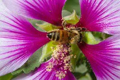 Flower and Bee Macro. Arroyo Del Valley Trail - Pleasanton, CA, USA