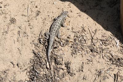 Western Fence Lizard (Sceloporus occidentalis). Baker Beach - San Francisco, CA, USA
