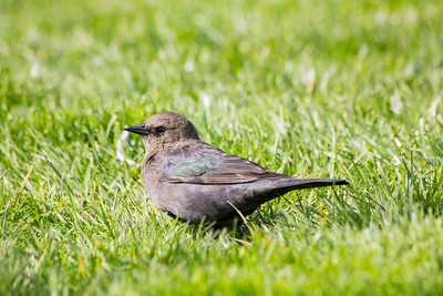 Female Brewer's Blackbird (Euphagus cyanocephalus). Near Pier 39 - San Francisco, CA, USA