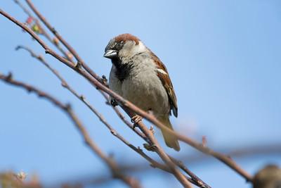 Male House Sparrow (Passer domesticus). Near Pier 39 - San Francisco, CA, USA