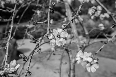 Peach Blossoms. Japanese Friendship Garden (Kelley Park) - San Jose, CA, USA