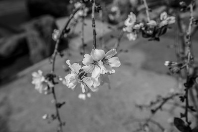 Peach Blossoms. Japanese Friendship Garden (Kelley Park) - San Jose, CA, USA