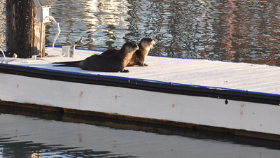 Sea Otters In SF Bay