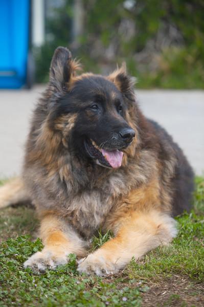 Orion<br /> German Shepherd
