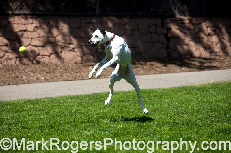 Emily<br /> Dalmatian Whippet Mix<br /> St Mary's Dog Park, San Francisco