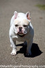 Ricky<br /> French Bulldog<br /> St Mary's Dog Park, San Francisco