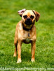 Puggle Rhymes with Trouble<br /> Pug-Beagle Mix<br /> St Mary's Dog Park, San Francisco
