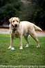 Cody<br /> Yellow Labrador Retriever<br /> St Mary's Dog Park, San Francisco