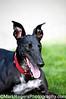 Emerson<br /> Greyhound<br /> St Mary's Dog Park - San Francisco