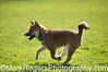 Shiba Inu Puppy<br /> St Mary's Dog Park, San Francisco