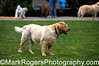 Stanley<br /> Yellow Labrador Retriever<br /> St Mary's Dog Park, San Francisco