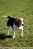 Beagle<br /> St Mary's Dog Park, San Francisco