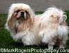 Pekingese<br /> St Mary's Dog Park, San Francisco