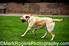 Rascal retrieving...naturally<br /> Yellow Labrador Retriever<br /> St Mary's Dog Park, San Francisco