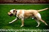 Rascal<br /> Yellow Labrador Retriever<br /> St Mary's Dog Park, San Francisco