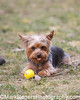 Yorkie<br /> Stern Grove Dog Park<br /> San Francisco