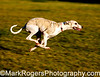 Classic Sight hound Gait<br /> Lulu - Whippet<br /> Stern Grove - Pine Lake Dog Park, San Francisco