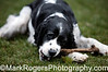 Nigel<br /> Springer Spaniel<br /> Stern Grove - Pine Lake Dog Park, San Francisco