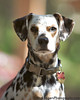 Miniature Dalmatian<br /> Stern Grove Dog Park<br /> San Francisco